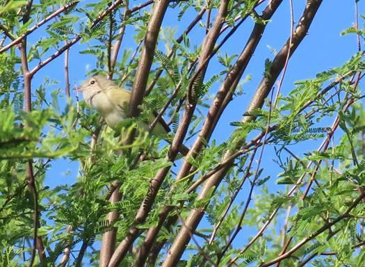 Bell's Vireo by Patsy Inglet, Cibolo Nature Ctr, 4/26/2020