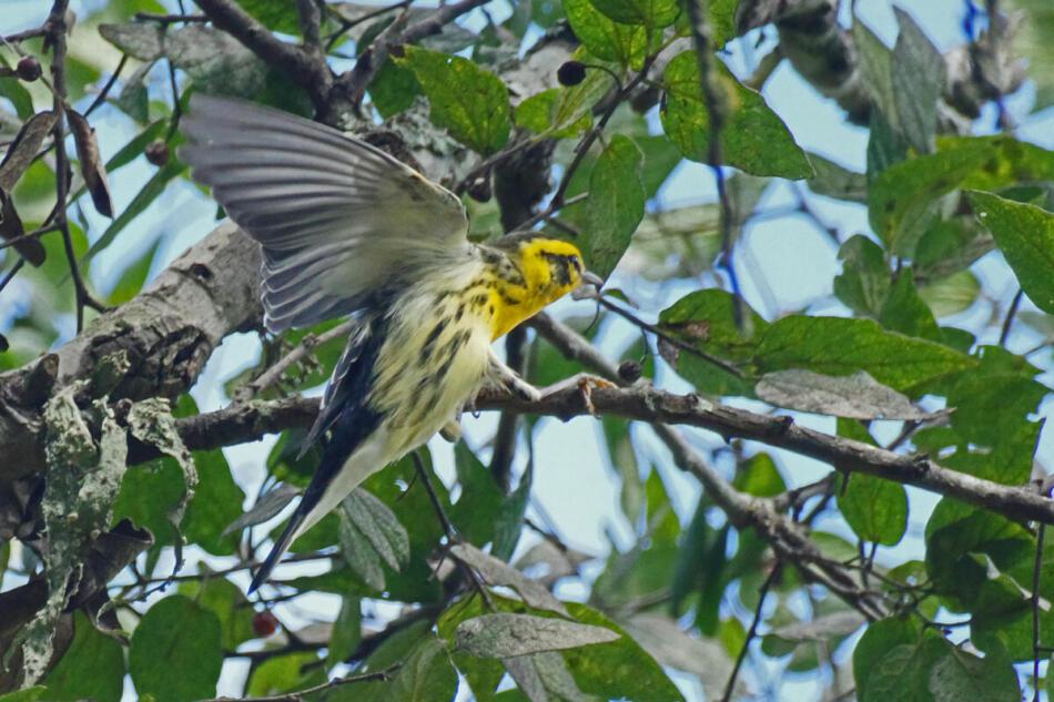 Blackburnian Warbler by Don Pope, Crescent Bend Nature Park, 9/14/21