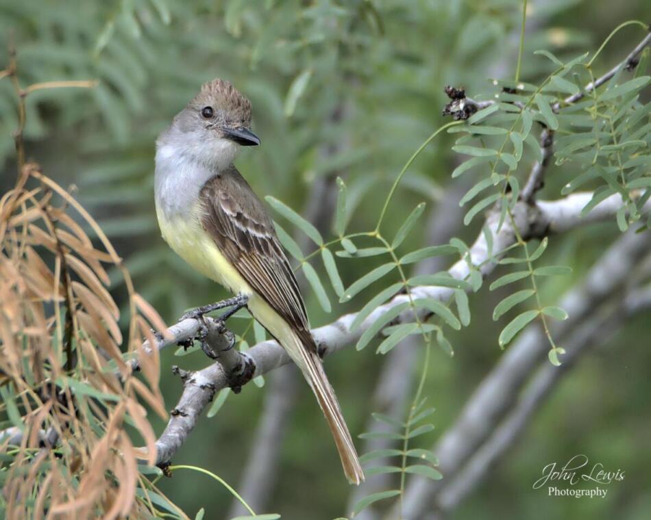 Brown-crested Flycatcher by John Lewis, Mitchell Lake Audubon Center, 6/26/21
