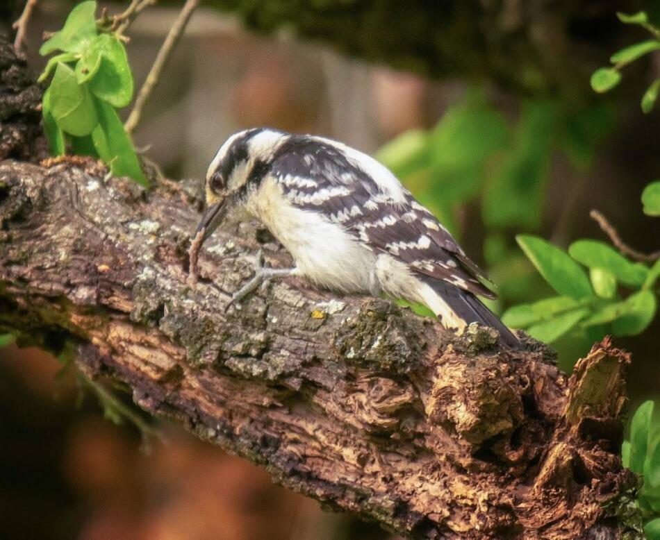 Downy Woodpecker by Rob Michaelson, Guadalupe River State Park Bird Blind, 4/21/2020