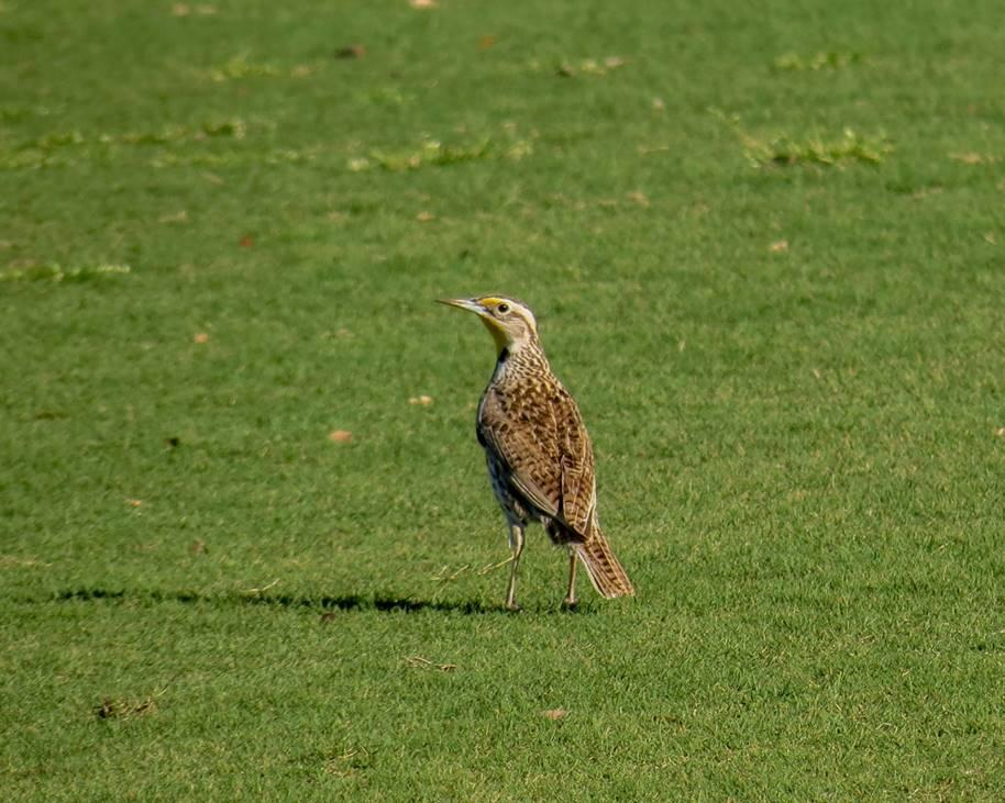 Eastern Meadowlark by Chris M, San Antonio, 3/18/21