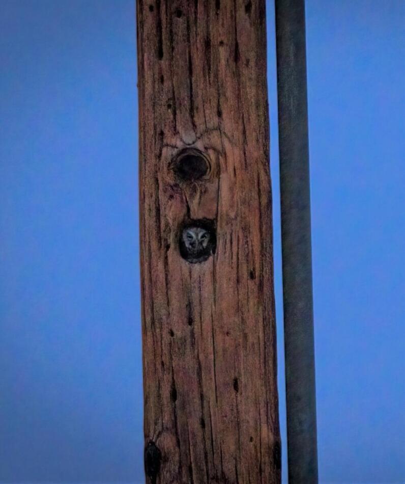 Elf Owl by Britt Coleman, Davis Mtns State Park, 5/12/21