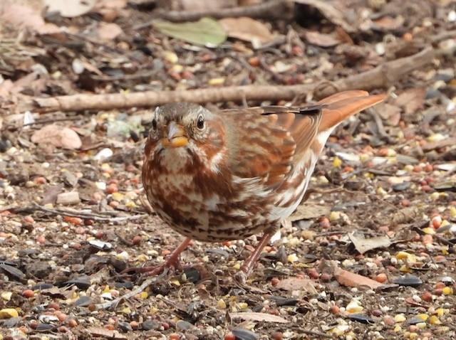 Fox Sparrow by Susan Schaezler, Warbler Woods, 12/11/2020