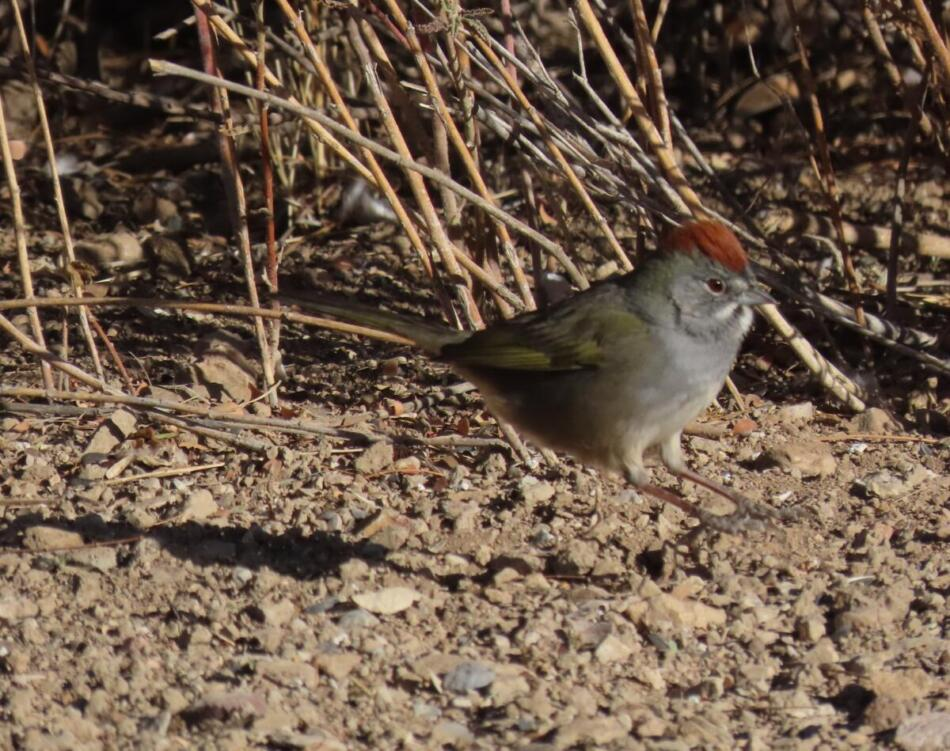 Green-tailed Towhee by Patsy Inglet, Big Bend area, 12/24/20