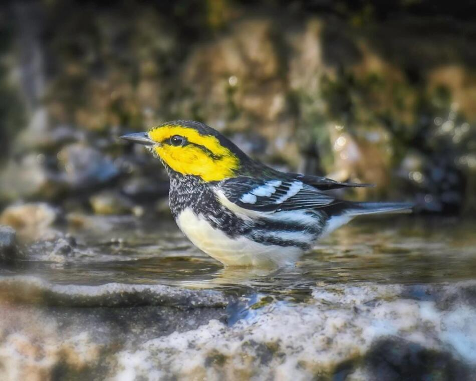 Golden-cheeked Warbler by Rob Michaelson, Guadalupe River State Park, 7/21/20