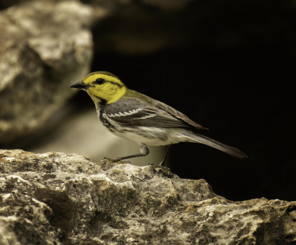 Golden-cheeked Warbler by Rob Michaelson, Guadalupe River State Park Bird Blind, 4/21/2020