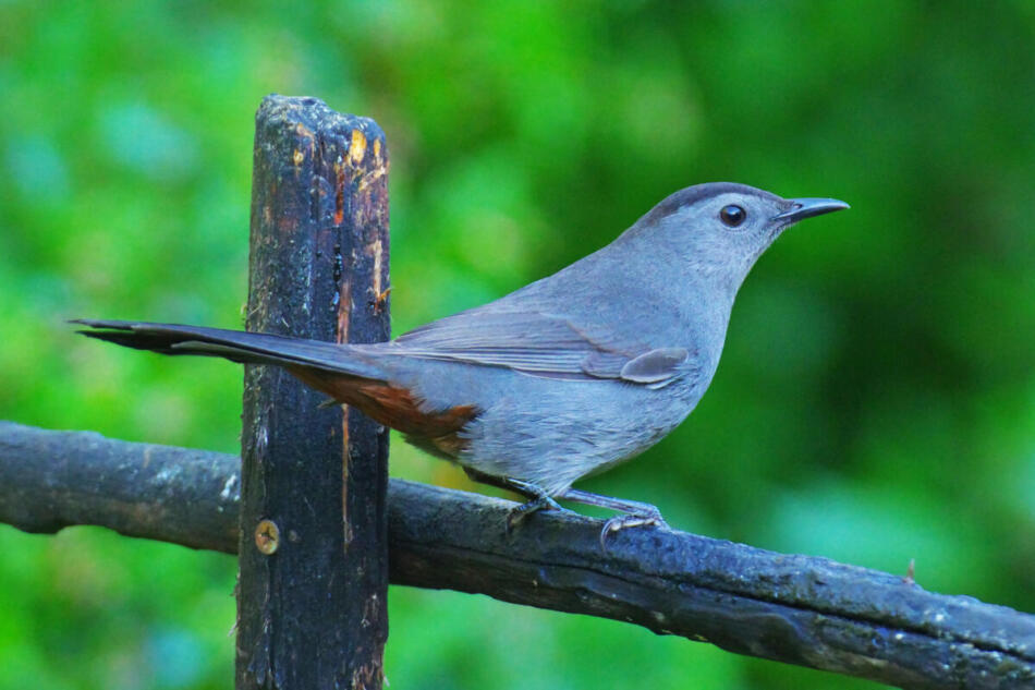 Gray Catbird by Don Pope, San Antonio Botanical Garden, 10/8/21