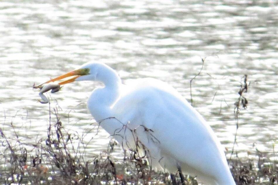 Great Egret by B Taylor, El Dorado Ponds in San Antonio, 1/27/21