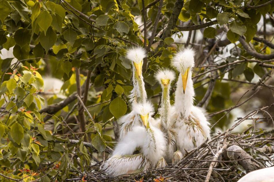 Great Egret Nestlings by Britt Coleman, High Island Rookery, 4/22/21