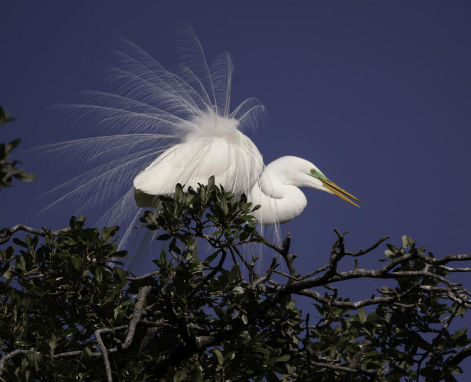 Great Egret by Rob Michaelson, Brackenridge Park Rookery, 4/24/2020