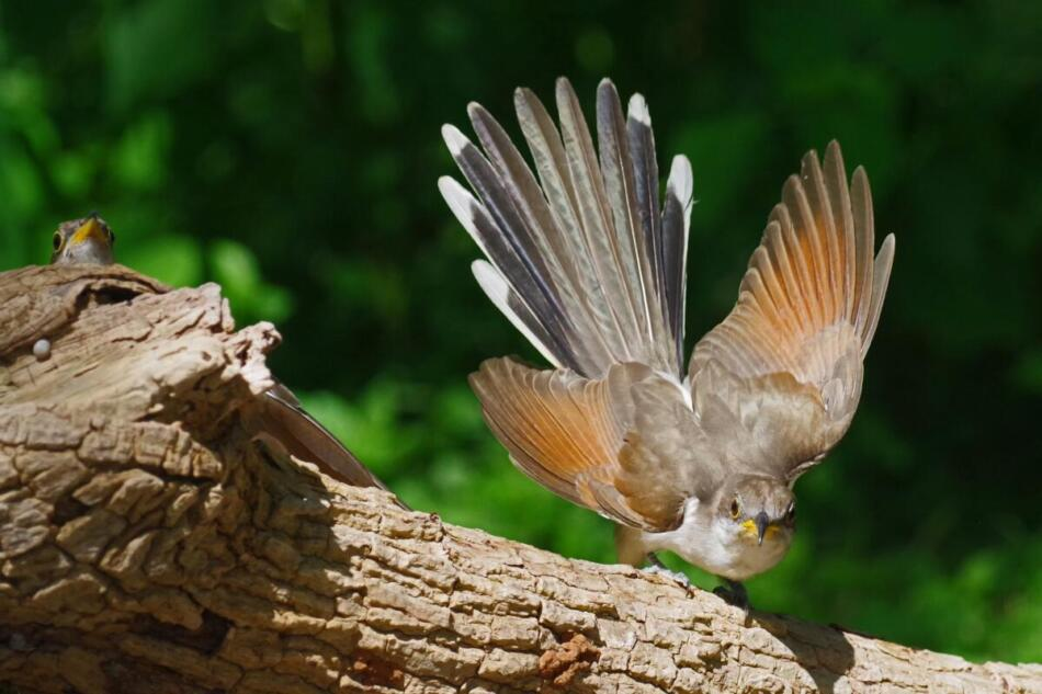Yellow-billed Cuckoo in Threat Display by Don Pope, Crescent Bend Nature Center, 7/24/21