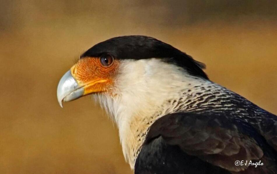 Crested Caracara by Jim Angelo, Rockin' R6 Ranch, Webb County, 2/7/2020