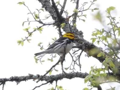 Golden-cheeked Warbler Video by A. Skuza, South Llano River State Park, 3/30/21