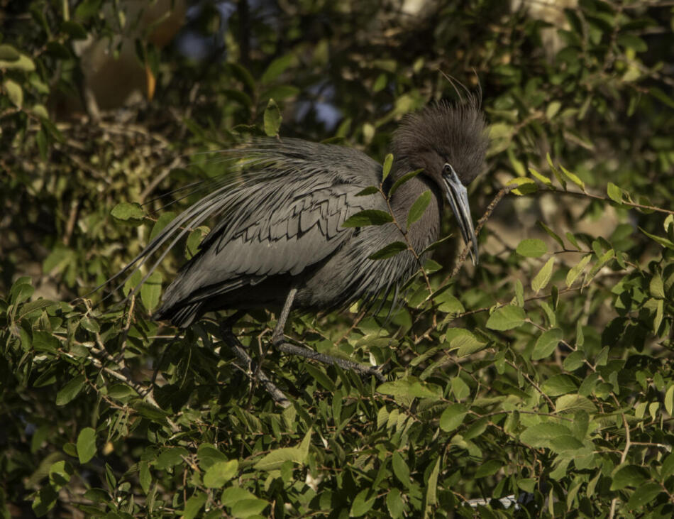 Little Blue Heron by Rob Michaelson, Brackenridge Park Rookery, 4/24/2020