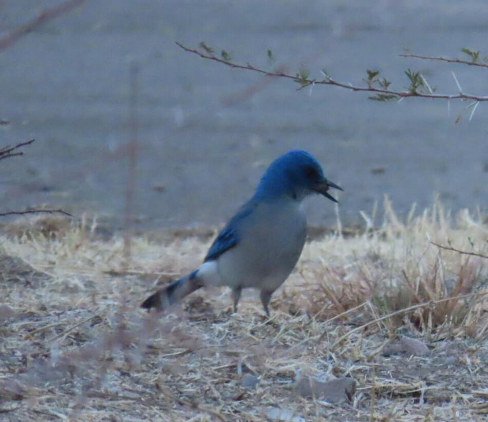 Mexican Jay by Patsy Inglet, Big Bend area, 12/24/20