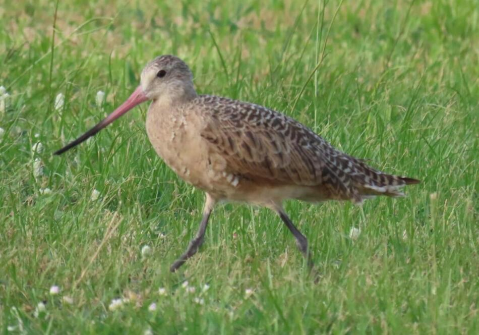 Marbled Godwit by Patsy Inglet, Fort Travis, Bolivar, 9/2/2020