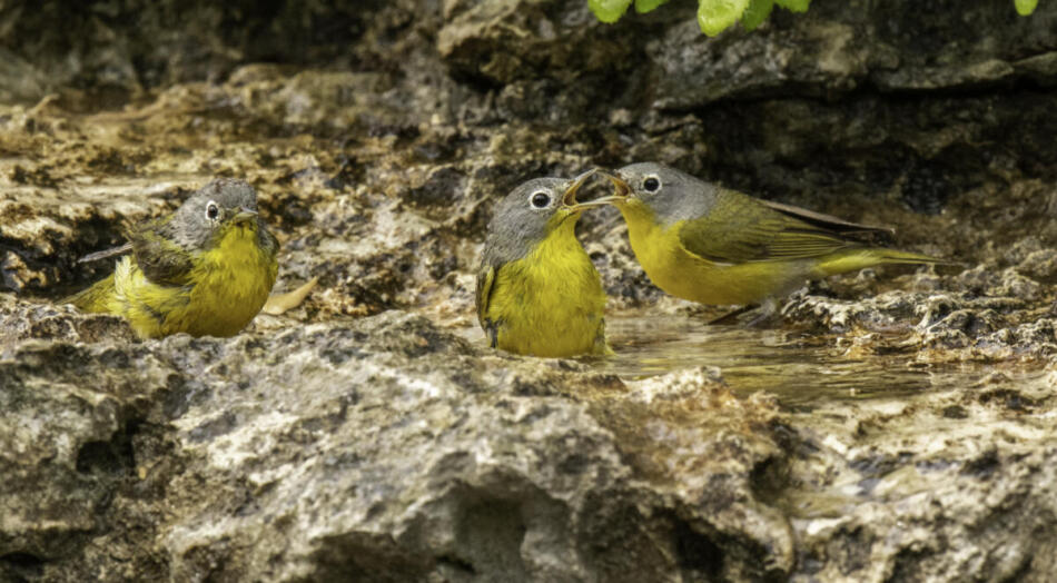 Nashville Warblers by Rob Michaelson, Guadalupe River State Park Bird Blind, 4/21/2020