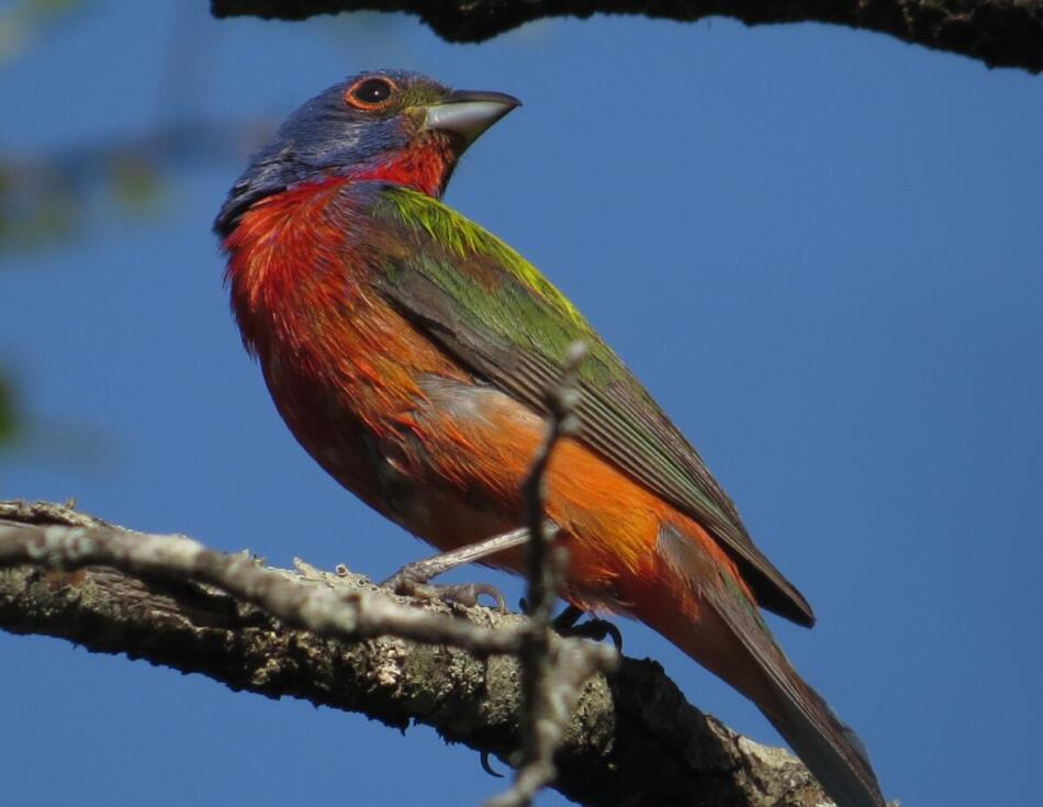 Painted Bunting by Lora Reynolds, Eisenhower Park, 6/14/21