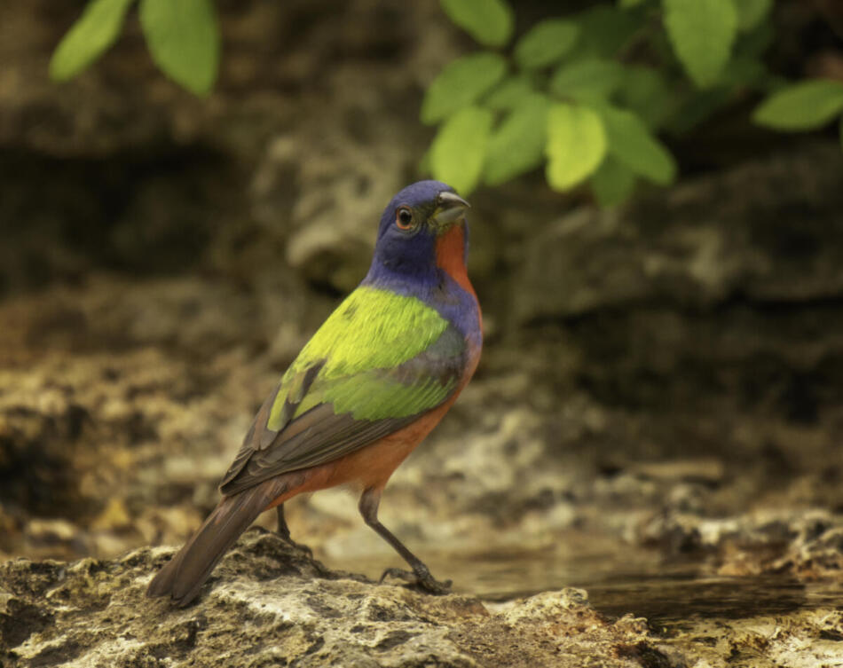 Painted Bunting by Rob Michaelson, Guadalupe River State Park Bird Blind, 4/21/2020