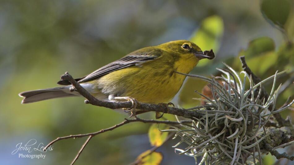 Pine Warbler by John Lewis, Crescent Bend Nature Park, 12/10/20