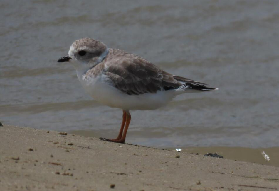 Piping Plover by Patsy Inglet, San Luis Pass Beach, 9/1/20