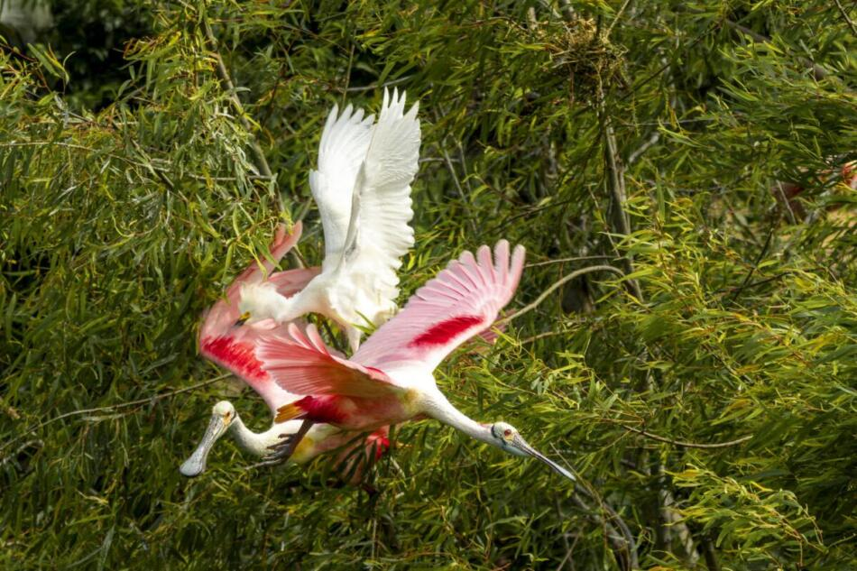 Roseate Spoonbills and Snowy Egret by Britt Coleman, High Island Rookery, 4/22/21