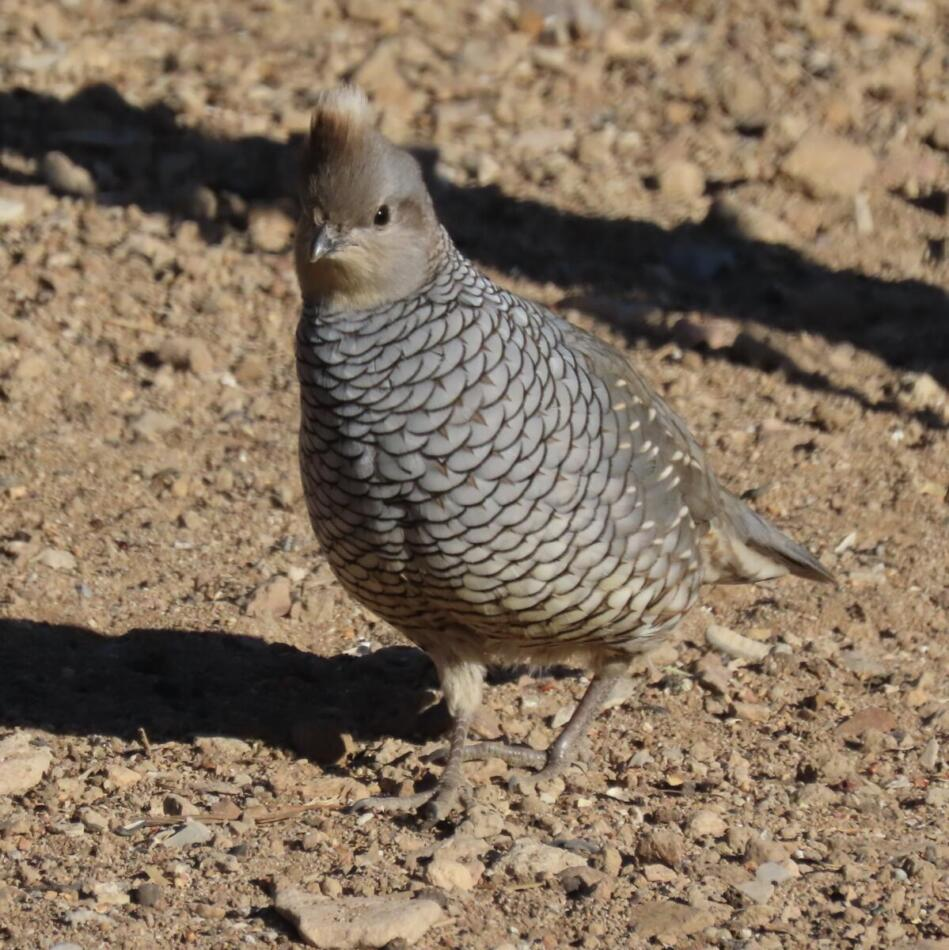 Scaled Quail by Patsy Inglet, Big Bend area, 12/24/20