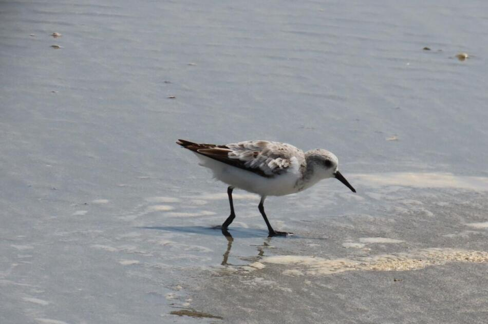 Sanderling by Patsy Inglet, San Luis Pass Beach, 9/2/2020