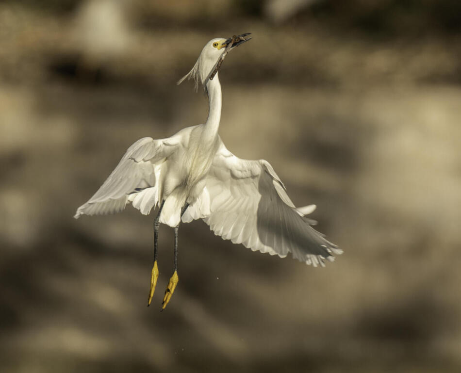 Snowy Egret by Rob Michaelson, Brackenridge Park Rookery, 4/24/2020