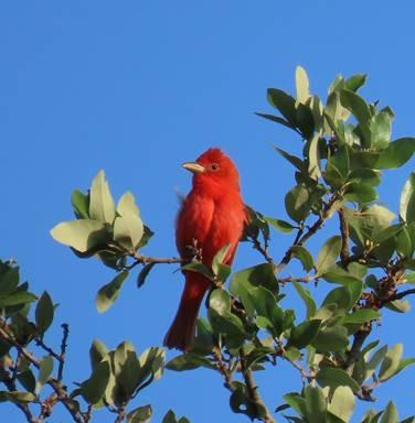 Summer Tanager by Patsy Inglet, Friedrich Wilderness Park, 4/24/2020