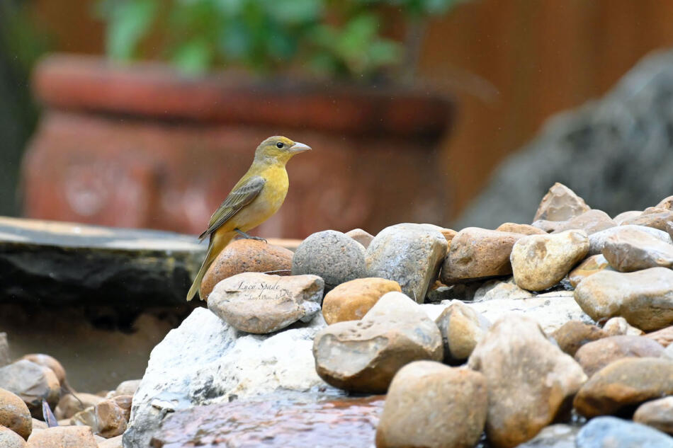 Summer Tanager by Lucy Spade, Boerne Backyard, 5/1/21