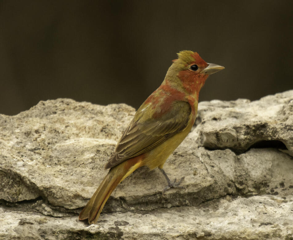 Summer Tanager by Rob Michaelson, Guadalupe River State Park Bird Blind, 4/21/2020