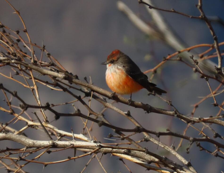 Vermilion Flycatcher by Patsy Inglet, Big Bend area, 12/24/20