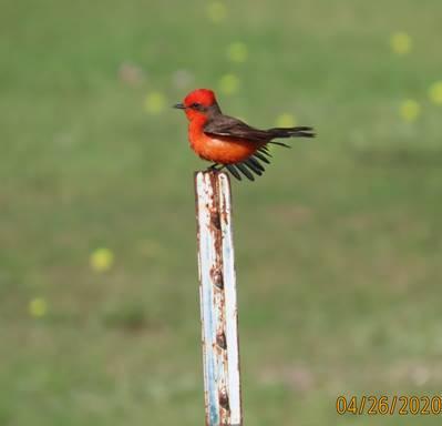 Vermilion Flycatcher by Patsy Inglet, Cibolo Nature Ctr, 4/26/2020
