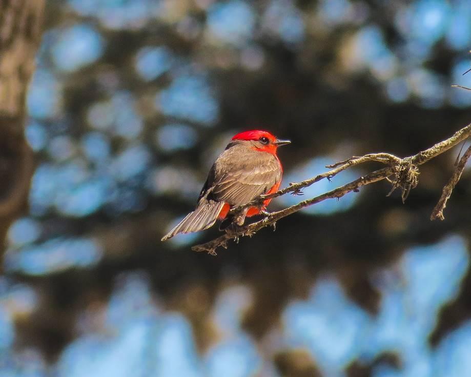 Vermilion Flycatcher by Chris M, Boerne City Lake Park, 3/20/21
