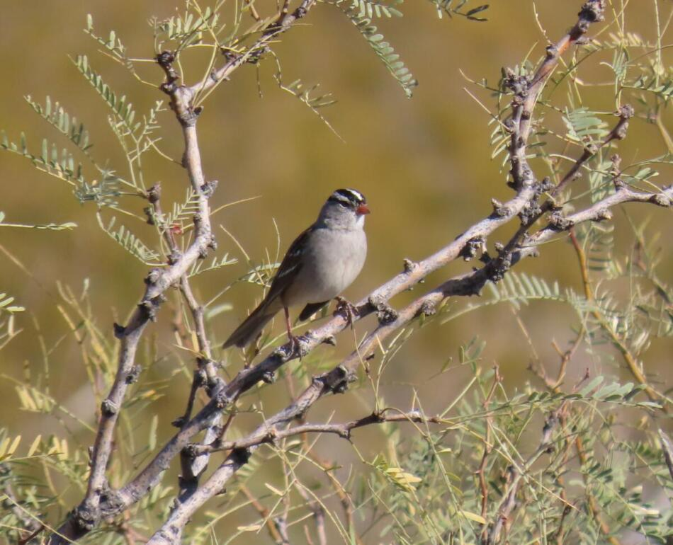 White-crowned Sparrow by Patsy Inglet, Big Bend area, 12/24/20