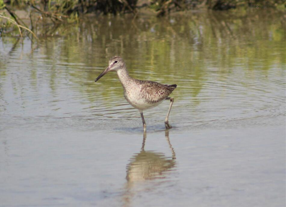 Willet by BAS Member, Sunset Lake, TX, 7/3/2020