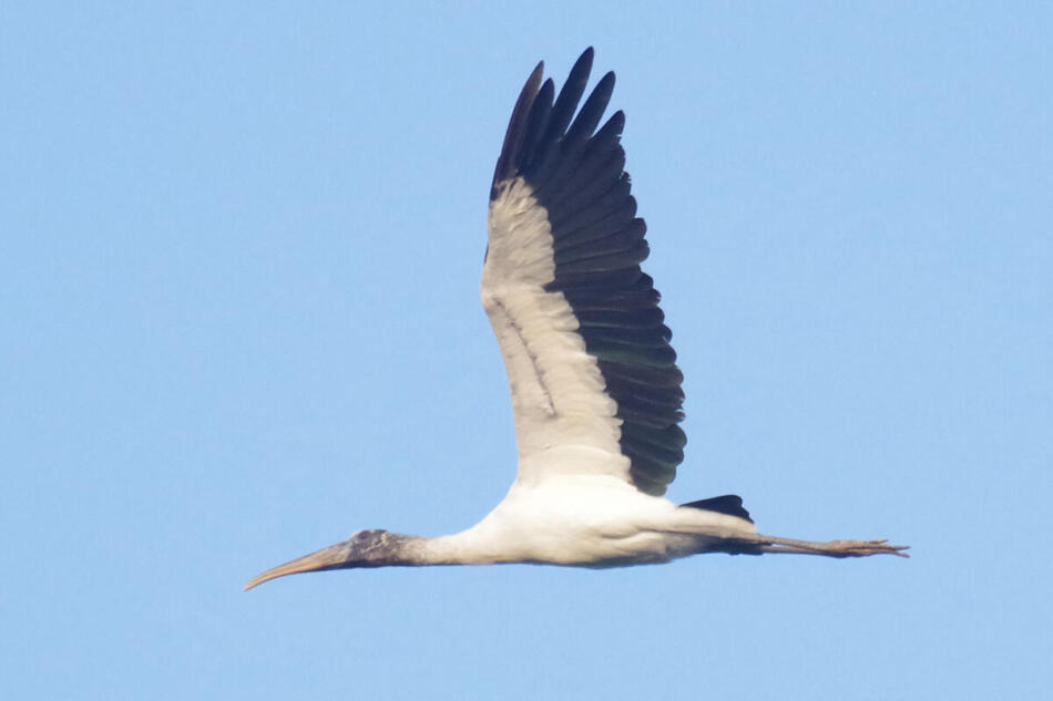 Wood Stork by Don Pope, Calaveras Lake, 11/13/20