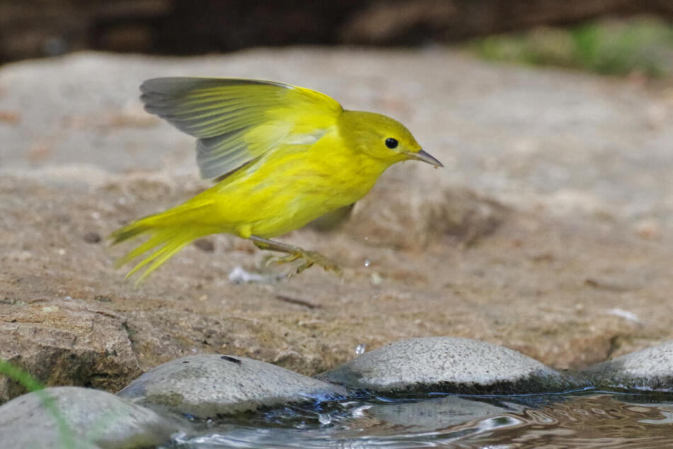 Yellow Warbler by Don Pope, Crescent Bend Nature Park, 8/20/21