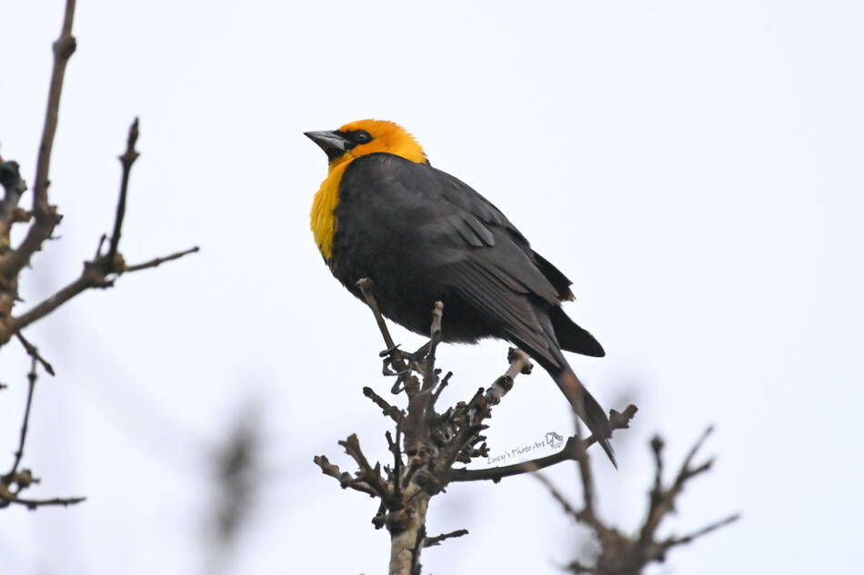 Yellow-headed Blackbird by Lucy Space, Boerne, 4/30/21