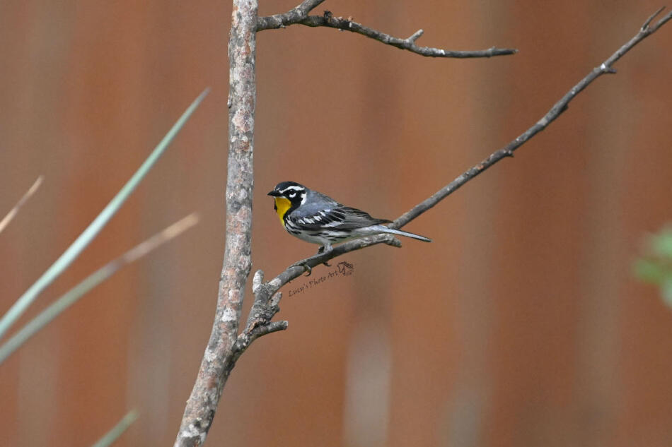 Yellow-throated Warbler by Lucy Spade, Boerne Backyard, 5/1/21