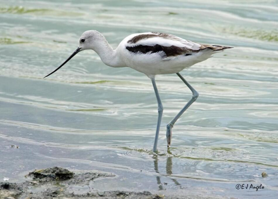 American Avocet by Jim Angelo, Mitchell Lake Audubon Center, 10/9/2019