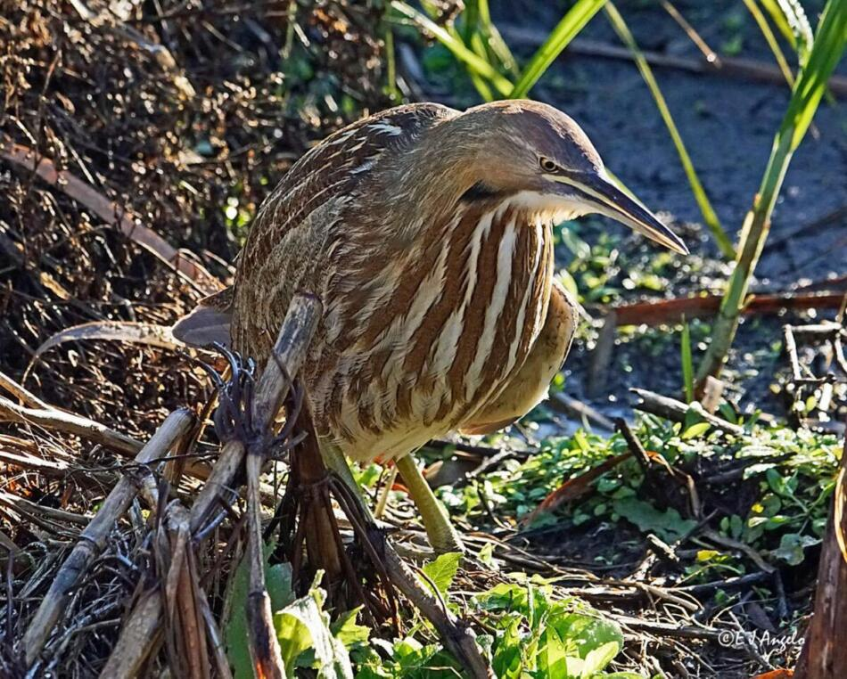 American Bittern by Jim Angelo, Port Aransas, 12/22/2019