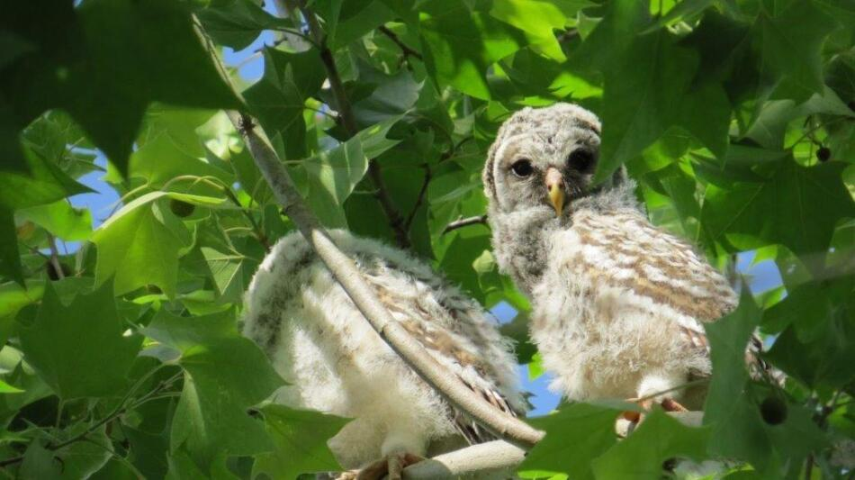 Young Barred Owls by Becca Taylor, Location not Disclosed, 4/27/2020