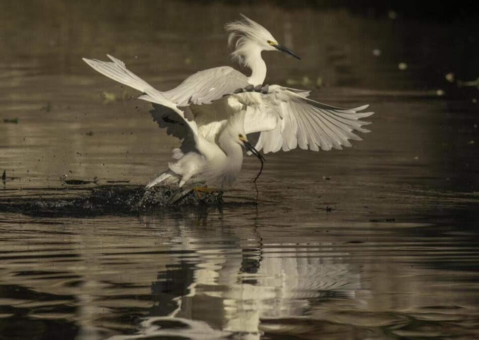 Snowy Egrets by Rob Michaelson, Brackenridge Park Rookery, 4/24/2020